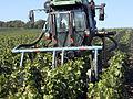 Vigne Pinot noir (Efeuillage) Cl.J.Weber04 (23595264031).jpg
