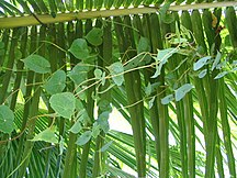 French Guiana-Environment-Vine on palm branch