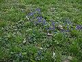 Viola odorata.JPEG