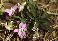 Viola pumila eF.jpg