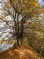 Vranovice - Stromořadí lip malolistých II.jpg