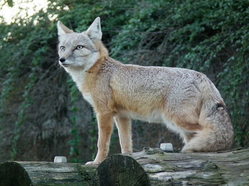 https://upload.wikimedia.org/wikipedia/commons/thumb/6/60/Vulpes_corsac_2010.JPG/800px-Vulpes_corsac_2010.JPG