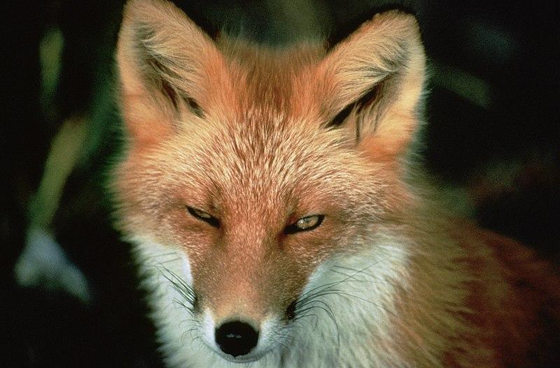 Afbeelding:Vulpes vulpes face.jpg