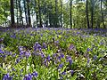 Wald der blauen Blumen.jpg