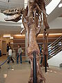 Wankel Tyrannosaurus cast left leg rear UCMP.JPG