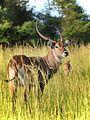 Waterbuck, Uganda (22326970770).jpg