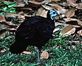 Wattled Brush-turkey (Aepypodius arfakianus2) (7937162662) (cropped).jpg