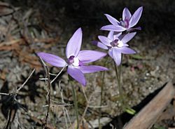 Wax lip orchid group oct07.jpg