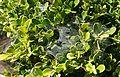 Webbing on a jade plant in Alcazar Garden 2.jpg