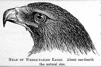 Tasmanian wedge-tailed eagle -  Drawing by Louisa Anne Meredith of the head of a wedge-tailed eagle from Tasmanian friends and foes : feathered, furred and finned (1880)