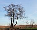Weerribben Elzen (Alnus) langs weg. Locatie Nationaalpark Weerribben 01.JPG