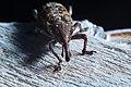 Weevil bug.jpg