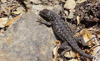 Mount Tamalpais - A western fence lizard, common in the area, near the peak of Mount Tamalpais