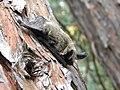 Western long-eared bat (Myotis evotis) (9403869552).jpg