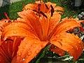 Wet Tiger Lily (172649946).jpg