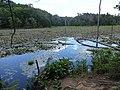 Wetlands of Calvert Cliffs State Park 08.jpg
