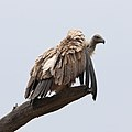 White-backed Vulture, Gyps africanus, at Kgalagadi Transfrontier (46112752082).jpg