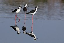 White-backed stilts (Himantopus melanurus).JPG