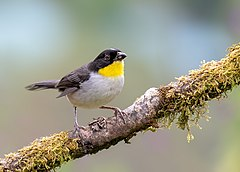 White-naped Brush-finch (49549273867).jpg