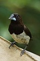 White-rumped Munia + (cropped).JPG