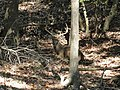White-tailed deer (11820105113).jpg
