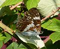 White Admiral. Limenitis camilla - Flickr - gailhampshire (1).jpg