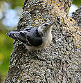 White Breasted Nuthatch (7162204029).jpg