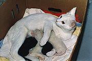 Gata branca amamentando seus filhotes