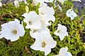 White Flowers (47302470).jpeg