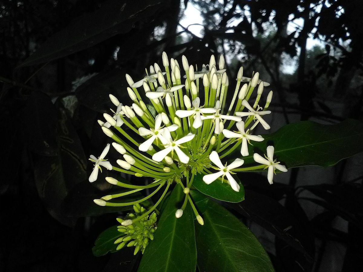 White Ixora (Kerala).jpg