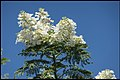 White Jacaranda has many blooms-1 (25429927391).jpg