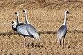 White Naped Crane (198962757).jpeg