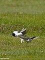 White Wagtail (Motacilla alba) (28988679992).jpg