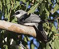 White bellied cuckoo shrike 1 (14806563548).jpg