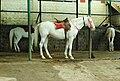 White horses for ride at Ooty lake boat house-Nilgiris.jpg