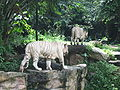 White tigers, Singapore Zoo 10.JPG