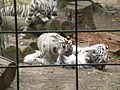 White tigers in ZooParc de Beauval 5.JPG