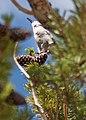 Whitebark Pine and Clark's Nutcracker, Inyo National Forest (140436165).jpg