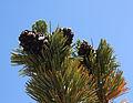 Whitebark pine Pinus albicaulis new cones.jpg
