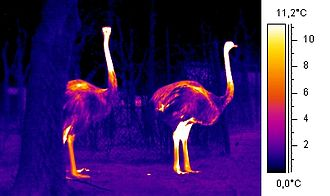 Thermoregulation - An ostrich can keep its body temperature relatively constant, even though the environment can be very hot during the day and cold at night.