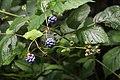 Wild Rubus - Wilde Braam (20715805498).jpg