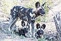 Wild dog (31226171480).jpg