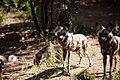 Wild dogs at De Wildt Cheetah Farm, North West Province (6253259514).jpg
