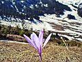 Wild saffron, Kosova.jpg