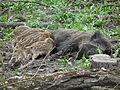 Wildschweinbache säugt ihre Jungen.JPG