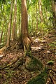 Winding root at mahogony forest in Bohol.jpg