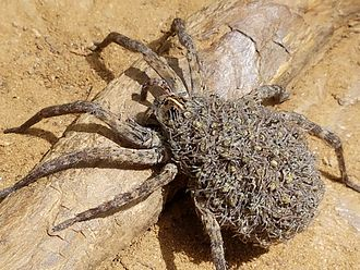 Wolf spider - Image: Wolf Spider F with Young