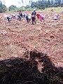 Women Planting Onions 03.jpg