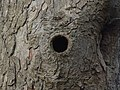 Woodpecker hole, High Wood - geograph.org.uk - 289136.jpg
