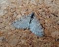 Worn Early Tooth-striped. Trichopteryx carpinata (35436688723).jpg